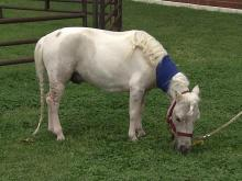 Miniature horse attacked in eastern Wake County