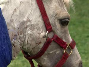 A vicious attack on a miniature horse last week, coming just days after a wild animal seriously injured a chocolate lab, has animal owners in eastern Wake County on the lookout.