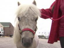 Wake miniature horse recovers from attack