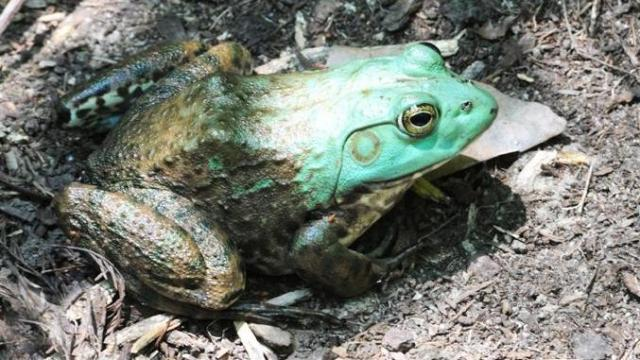 A variety of amphibians use isolated wetlands as habitats for their young.