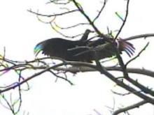Vultures invade Carthage neighborhood