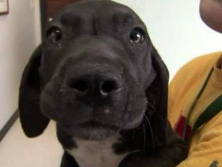 Twenty-eight Great Danes, Mastiffs and Dobermans were seized from a breeding operation in Wilson on Aug. 23, 2012.