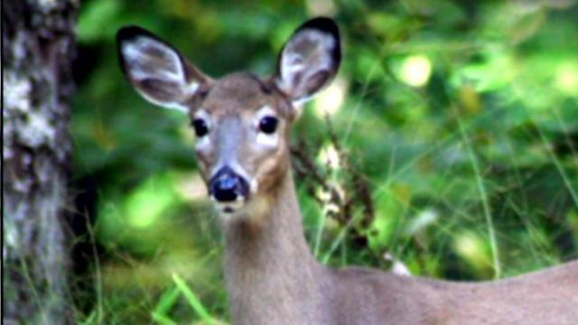 Wake Forest residents are complaining that deer treat their gardens like a buffet.