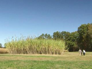The Arundo donax, a cane-like plant, grows in abundance. Crops reach up to 20 feet tall, don't take up much land, need little fertilizer and can tolerate drought.
