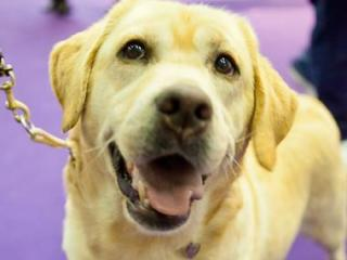 This yellow Labrador from Goldsboro made the first cut in the breed competition at the Westminster Kennel Club Dog Show but didn't place.