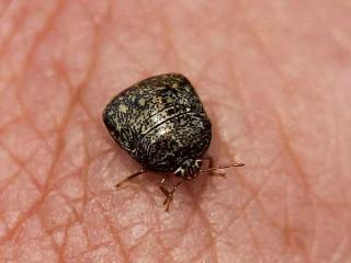 Close-up of a kudzu bug. Photo credit: NC Cooperative Extension.
