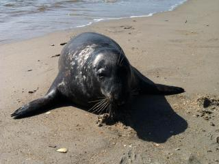 This gray seal was spotted on North Carolina beaches.