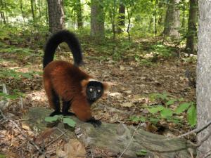 A red ruffed lemur,  like the one pictured here, escaped its enclosure at the Duke Lemur Center in Durham. The animal was found five hours later in a nearby garage.