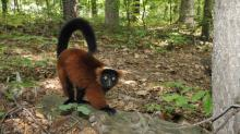 IMAGE: Lemur escapes on five-hour ramble in Durham