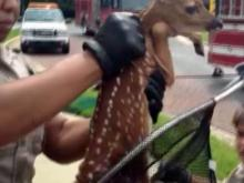 Viewer video: Baby deer pulled from storm drain