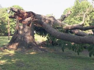 An enormous red oak tree in Wake County, believed to be four centuries old, has withstood hurricanes, tornadoes and damaging winds. But on a warm, calm Monday - Memorial Day - the tree came crashing down.