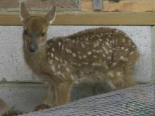 Experts: Wait before rescuing fawns