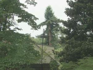 California redwoods thriving in Wilson