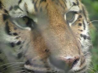 Aria, rescued tiger at Carolina Tiger Rescue