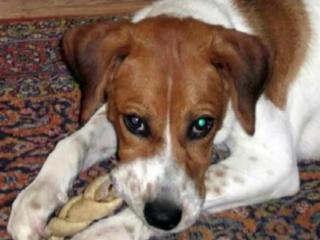 Jack, a beagle puppy, was killed by three pit bulls in a neighbor's yard in Fayetteville on Sept. 29, 2013.