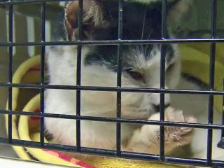 Cats seized from a Raleigh home had respiratory, intestinal and other ailments.