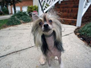 Heavenly, a 5-year-old Chinese crested, will compete in February 2014 in the Westminster Kennel Club Dog Show in New York City.