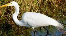 IMAGE: GPS trackers help NC scientists map egret migration