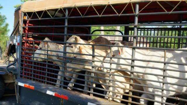 Moore County authorities seized 120 malnourished cows from an Eagle Springs farm on May 22, 2014. (Photo by Bruce Mildwurf)