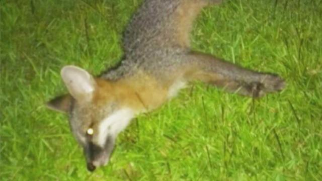 Fox that attacked Hope Mills toddler tests positive for rabies
