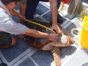 A crew takes measurements and assesses the health of a sea turtle that was rescued after it became tangled in fishing line. U.S. Coast Guard photo by Petty Officer 2nd Class Matt Strucic.