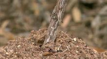 IMAGES: Fall months are good time to treat fire ant mounds