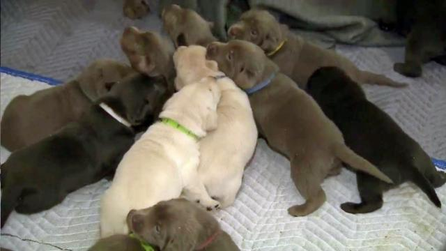 Puppy breath! Raleigh dog gives birth to 16 :: WRAL com