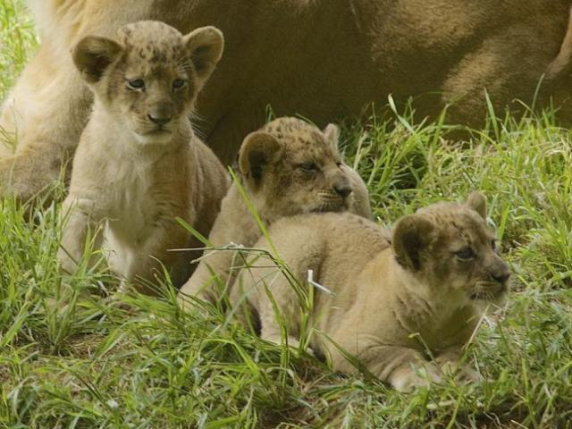 The North Carolina Zoo on Friday announced the results of its online contest to name the 3-month-old cubs. The females are Savanna and Lololi, and the male cubs are Khari and Kirabo. Photo courtesy of the zoo.