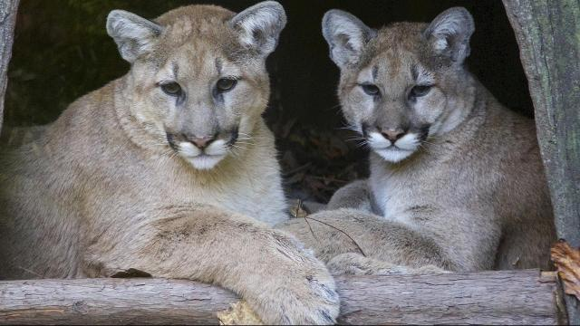 Heath and Olive, cougar siblings, are on exhibit daily ath the North Carolina Zoo in Asheboro. Photo courtesy of the zoo.