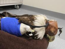 Wildlife organizations are petitioning lawmakers to revise the rules when it comes to rescuing eagles, saying the current regulations make it difficult to find a home for an injured bird.