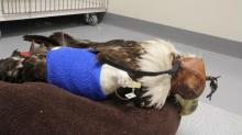IMAGES: Funding needed to help save injured eagles