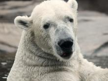 Polar bear Nikita