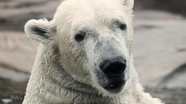 Nikita has been moved from the Kansas City Zoo to the North Carolina Zoo.