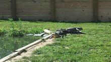 IMAGE: Johnston County teacher reunited with stolen alligator