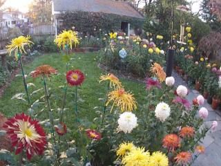 Joan Matthews has a vast garden of chrysanthemums, which have become rare and difficult to find over the years because they are difficult to transport and not carried by most garden stores.