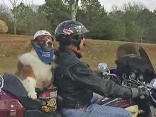 Dog battling cancer rides out days on motorcycle