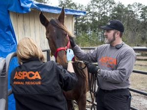 More than 100 employees of the American Society for the Prevention of Animals were on hand in Hoke County Wednesday as Hoke County authorities raided an animal shelter. More than 600 animals, including dogs, cats and horses, were seized, and the shelter owners were charged with abuse. (Photo courtesy ASPCA)