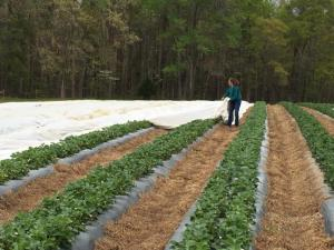 Farmers across central North Carolina spent Tuesday preparing for a cold snap that could harm their strawberry plants if proper precautions are not taken.