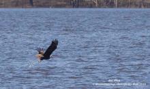 Jordan Lake eagle