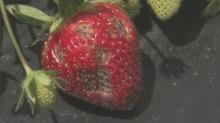 IMAGES: NCSU researchers attempting to develop disease-resistant strawberries