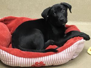 Garner police are investigating after someone walked into the SPCA of Wake County Monday and stole a 2-month-old Labrador Retriever mix named Rowan.