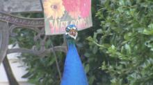 Nobody knows where it came from, but a peacock that has been strutting around Apex for months has the town talking.