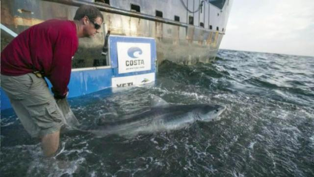 The research group made famous by catching and tagging great white sharks is off the North Carolina coast this week.