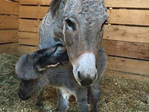 A donkey rescued from floodwaters in Pender County during Hurricane Matthew gave birth to a baby girl over the weekend.