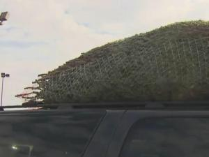 With the scent of freshly cut evergreens, it's smelling a lot like Christmas at the State Farmers Market--and the place is all abuzz with the whine of chainsaws.