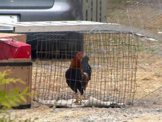 Authorities made five arrests and seized dozens of chickens Sunday after discovering a suspected cockfighting ring in Lenoir County.