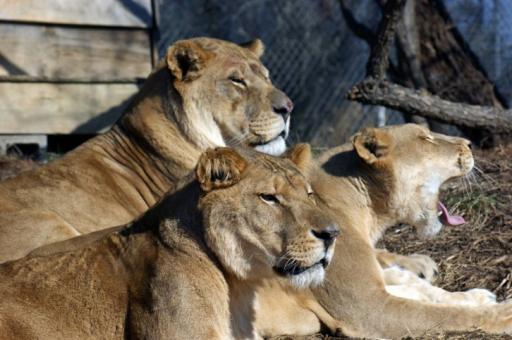 Carolina Tiger Rescue says goodbye to Tarzan the lion