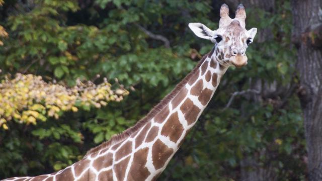 Jamili giraffe