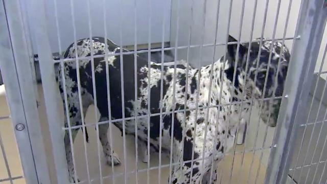 Great Danes to be put down after attack