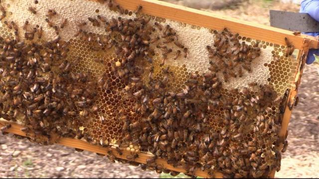 Bee Downtown does its part to help save the honeybees